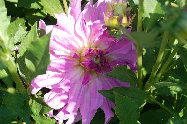 DSC_0093_lavendar_ruffles