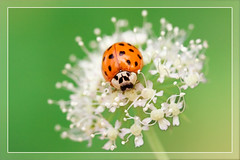 Ladybird (hvhe1) Tags: flower holland nature netherlands animal angel bug insect searchthebest wildlife ladybird angelica lieveheersbeestje naturesfinest harmoniaaxyridis engelwortel specanimal hvhe1 hennievanheerden