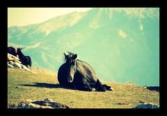 DSC_1064 (ELARCOIRIS1) Tags: horses italy horse verde nature animals montagne caballo cheval caballos italia natura animales das monte moni prato montagna cavalli cavallo pferd nero animali montains monti orso frosolone molise isernia colle equino chevals