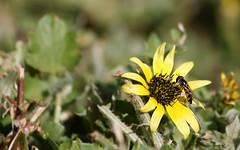 Skinny Bee (Onesimusix) Tags: macro insect dof depthoffield bee canberra hoverfly canon500d 70300mmisusm melangynaviridiceps eosrebelt1i melangynadamaster skinnybee