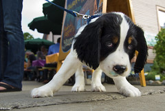 Bodhi (rjseg1) Tags: dog michigan annarbor deli spaniel springer zingermans segal rjseg1