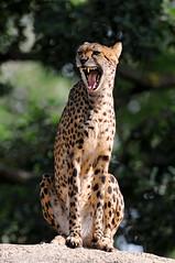 [フリー画像] [動物写真] [哺乳類] [ネコ科] [チーター] [叫ぶ] [吠える]     [フリー素材]