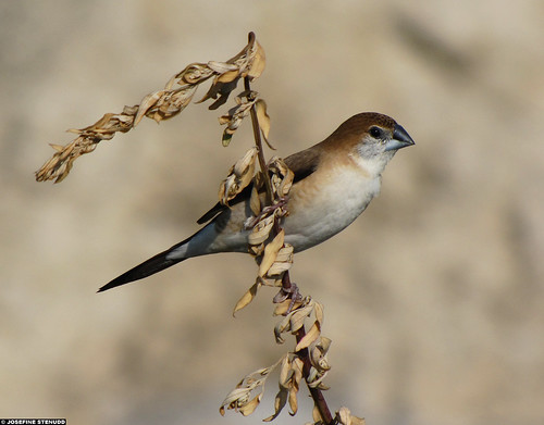 Малабарская амадина (Euodice malabarica), Фото фотография картинка птицы