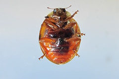 The Worlds Most Recently Posted Photos Of Ladybug And Underside