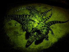 Gator Alley (robertvena) Tags: black green animals yellow gator alligator lizards reptiles crocodiles crocs