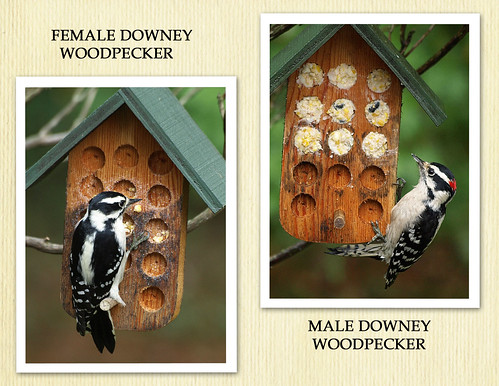 Downey woodpeckers
