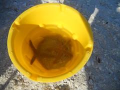 finds. (juliepass) Tags: sunset lighthouse sunrise florida starfish springbreak seashell sanibel sanibelisland beachbike 2011 twisteetreat