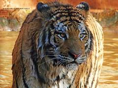 Gigante (Giancarlos F. Martins) Tags: zoo feline tiger felino zoolgico gian sh tigre pantheratigris mamfero felidae chordata zoolgicodeamericana giancarlos parqueecolgicodeamericana carnvores lumixfz40