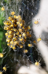 Load of small spiders (j_wijnands) Tags: spider nikon spiders young capture d300 nx tokina100mmf28atxprod pleasecontactmeifyouwanttouseapicturejeroenwijnandsatgmailcom