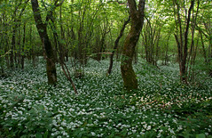 wild garlic (happy.apple) Tags: forest landscape slovenia slovenija ramsons wildgarlic gozd slivnica pomlad ema