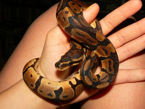 Snake Pets, Snake as Pet