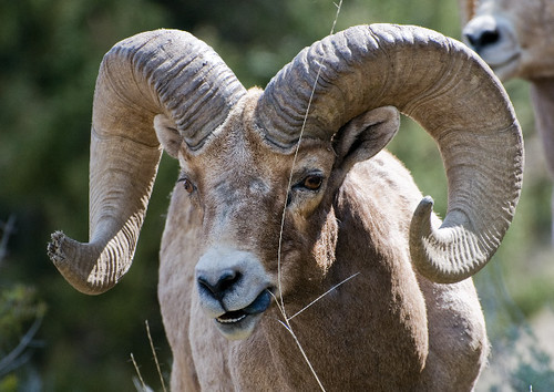 Bighorn Ram Having Problems with Lunch