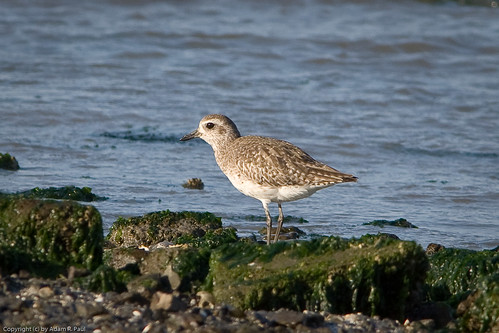 Black-bellied Plover by you.