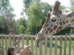 Olivia Feeding Giraffe