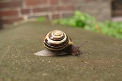 Wohin des Wegs? (ziso) Tags: snail schnecke schneckenhaus fhler