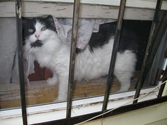 Fancy, in winow, behind screen and security bars (Hairlover) Tags: pet cats pets public cat kitten kitty kittens kitties hairlover allcatsnopeople