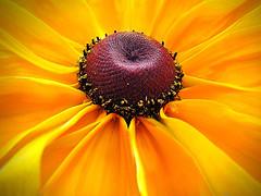 The Coronation (Jenn (ovaunda)) Tags: yellow sony dsch5 specialpicture anawesomeshot fleursetnature colorsofthesoul jennovaunda ovaunda