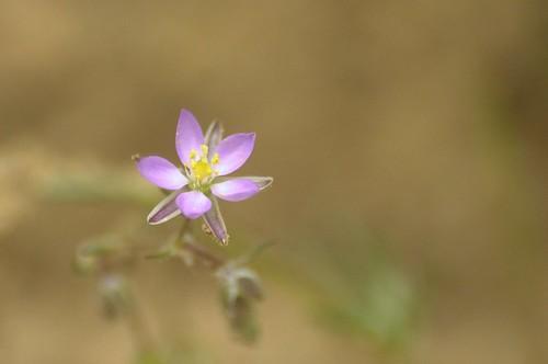 Spergularia rubra | Rode Schijnspurrie - Sand Spurrey