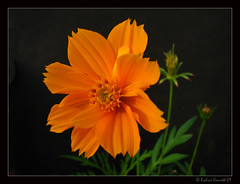 Cosmos Orange (rohini_kamath) Tags: orange plants india flower nature flora bangalore cosmos rohini kamath ifornature rohinikamath