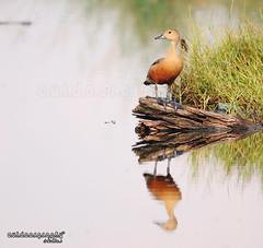 Flying Duck Reflection (Sir Mart Outdoorgraphy) Tags: macro birds fauna magazine spider flora education nikon photographer eagle bokeh outdoor birding best micro malaysia kingfisher penang indah egret lesser stork swallows burung byram flyingduck unik whistlingduck nikonian d90 rajaudang bangau menarik lesserwhistlingduck nikonuser nibongtebal jurugambar penangflickr pulauburung sirmart outdoorgraphy outdoorgraphy penangflickrgroup pulauburong