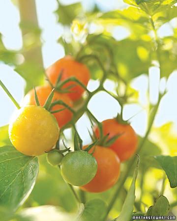 mld103321_0308_tomatoes_xl