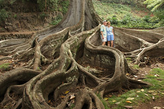 "Giant Fig Tree Roots, 2 of 3 (IronRodArt - Royce Bair (""Star Shooter"")) Tags: tree scale nature giant bay branch fig roots large fork system foundation ficus growth anchor huge trunk network branching moreton banyon macrophylla"