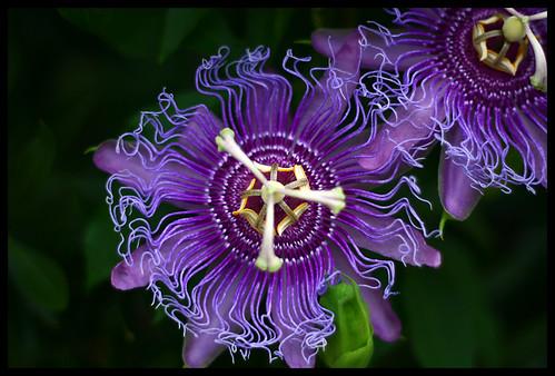 Passion Flower (Passiflora Incarnata) aka Maypop
