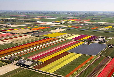 tulip_fields