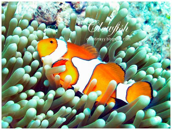 Cairns: Clownfish