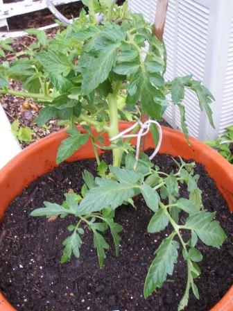 Tennessee Tomato Plant