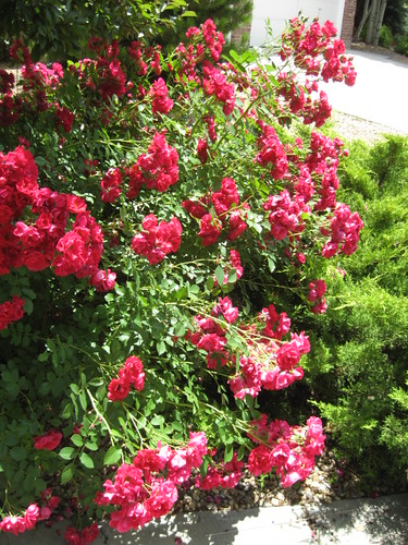 Front Yard Roses