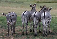 Marwell Flickr Meet34 (Helena Pugsley) Tags: animal zoo stripes odd zebra marwell marwellzoo flickrchallengegroup flickrchallengewinner 15challengeswinner thechallengegame challengegamewinner marwellwildlife