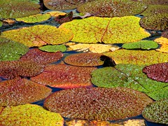 Patterns of Nature (Stanley Zimny (Thank You for 16 Million views)) Tags: autumn brown green fall nature water colors leaves yellow garden leaf pattern waterlily bronx circles round bronxbotanicalgarden colorphotoaward colourartaward 100commentgroup