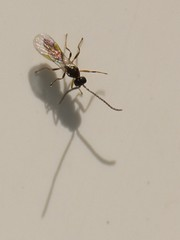 Braconidae wasp - Me and my shadow
