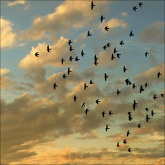 In flight formation (NaPix -- (Time out)) Tags: sunset sky canada art 6x6 nature clouds canon square landscape freedom 1 quebec action dove pigeons flock flight formation explore top10 doves silhuettes columbidae 500x500 explored explore1 exploretopten napix canoneosdigitalrebelxsi inflightformation