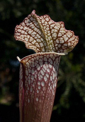 Sarracenia Leucophylla 'Titan'