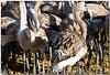 I miei amici degli stagni. (Roberto Click) Tags: life sardegna nature fauna nikon sardinia natura animali cagliari fenicotteri stagno zoneumide naturaincontaminata nikond80 nginationalgeographicbyitalianpeople artedellafoto floraefaunadellasardegna