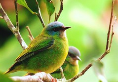 COMPANHEIRAS (Partnership) (jonycunha) Tags: brazil color verde green bird nature brasil natureza pssaro eldorado ave cor wmp colorido valedoribeira mataatlntica saraazul itapena jonycunha