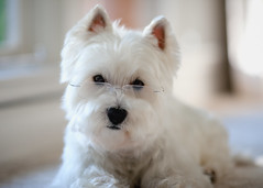 (paulh192) Tags: portrait cute home canon glasses kirby funny westie posing naturallight westhighlandwhiteterrier whitedog