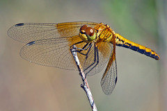Cartoonish (phoGARDENtog) Tags: macro insect colorado fortcollins pineridge amazingmacros superamazingmacrosaward fcmdscurbanwildlifechallenge