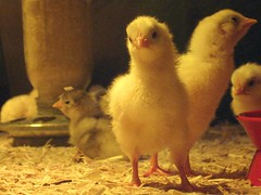 chicks @ farm tech