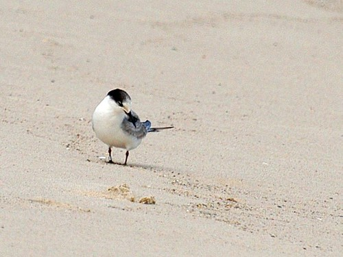banded tern copy
