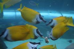 Feeding fish (lfom5608) Tags: sydney australia sydneyaquarium