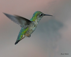 Broad-tailed Hummingbird female (colorob) Tags: birds colorado littleton broadtailedhummingbird selasphorusplatycercus coloradowildlife colorob