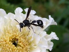 Potter Wasp and Marigold (lika2009 (in the U.S.A.)) Tags: white black macro yellow insect fly wasp cream september marigold 2009 potterwasp