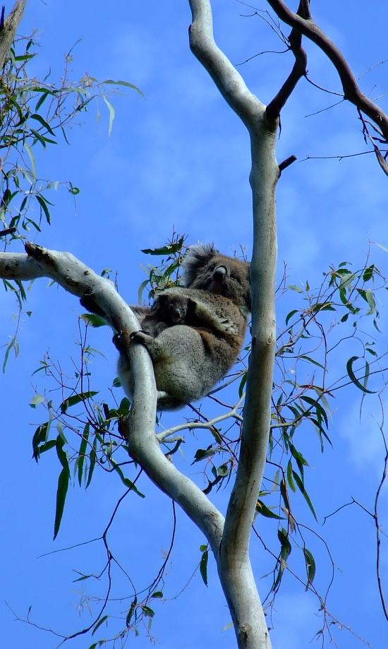 mama and baby koala 01