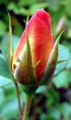Rosebud from rose from neighbor (Martin LaBar) Tags: pink macro beautiful rose yellow petals southcarolina rosa amarillo bud lovely capullo bello primerplano rosaceae sepals pétalo pickenscounty larosa carolinadelsur sépalo exceptionalflowers
