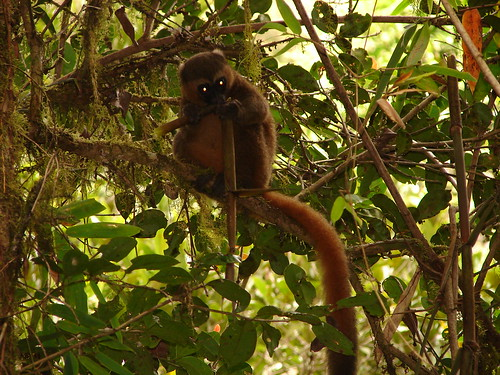 park golden bamboo national lemur madagascar aureus ranomafana madagaskar ranomafananationalpark goldenbamboolemur hapalemuraureus hapalemur