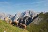 Karwendel (Erwin Vindl) Tags: mountains landscape austria tirol nikon sheep innsbruck nordkette karwendel goetheweg d80 karwendelalpinepark