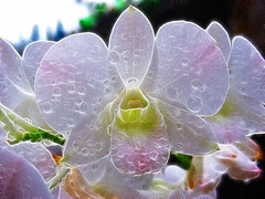 Phalaenopsis (White) (Gilbert Rondilla) Tags: pictures camera flowers plants white plant orchid flower color macro nature up closeup photomanipulation photoshop garden point photography photo nikon shoot close blossom philippines phalaenopsis bloom raindrops gilbert filipino plugin digicam notmycamera own pinoy s10 adik borrowedcamera pns butterflyorchid rondilla notmyowncamera fractalius gilbertrondilla gilbertrondillaphotography luisianian